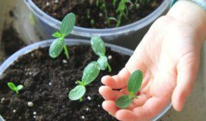 Как правильно посадить и выращивать огурцы в 5-литровых бутылках