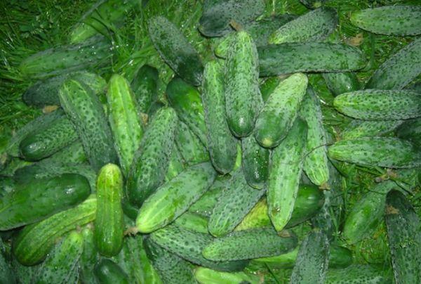 Урожайные огурцы