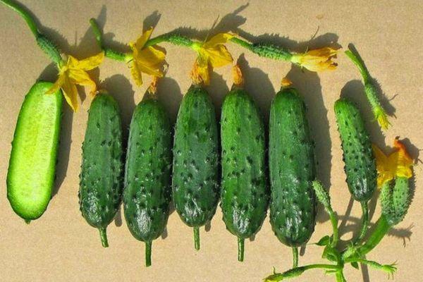 Плоды огурца