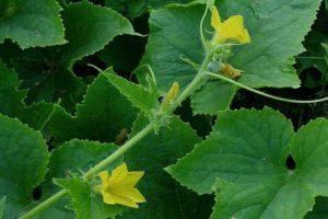 Почему огурцы цветут, а завязи нет и что делать, ошибки в уходе и чем опрыскать