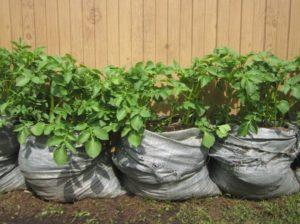 Как посадить, выращивать и ухаживать за огурцами в мешках пошагово