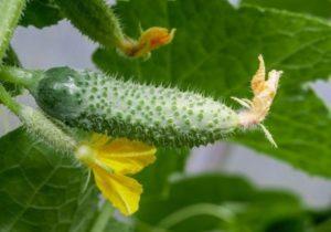 Почему плохо растут огурцы в теплице и открытом грунте и что делать