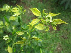 Почему не растут перцы в теплице и открытом грунте после высадки и что делать