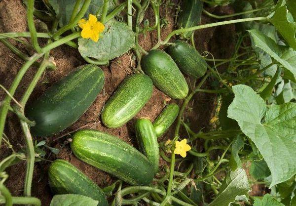 Плодоношение огурцов
