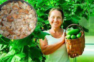 Как сделать хлебный настой для подкормки огурцов, правила внесения удобрения