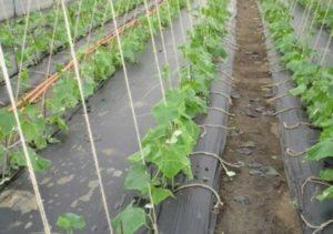 Как посадить огурцы в открытый грунт под пленку, сроки и технология выращивания