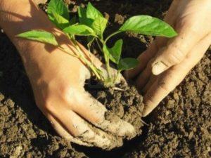 Когда нужно высаживать перец в открытый грунт, сроки и условия