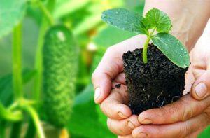 Как правильно сажать рассаду огурцов в домашних условиях и чем подкормить