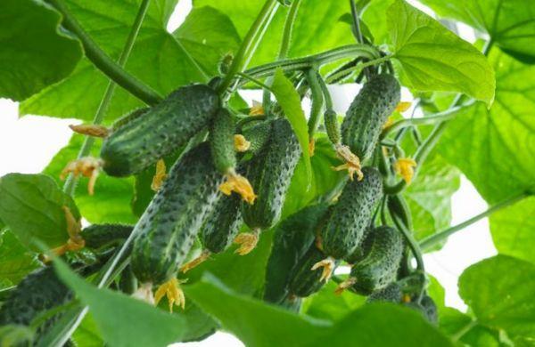 Пучковые зеленцы