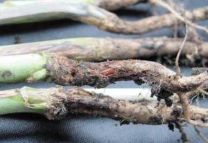 Как бороться с черной ножкой у капусты и что делать для лечения