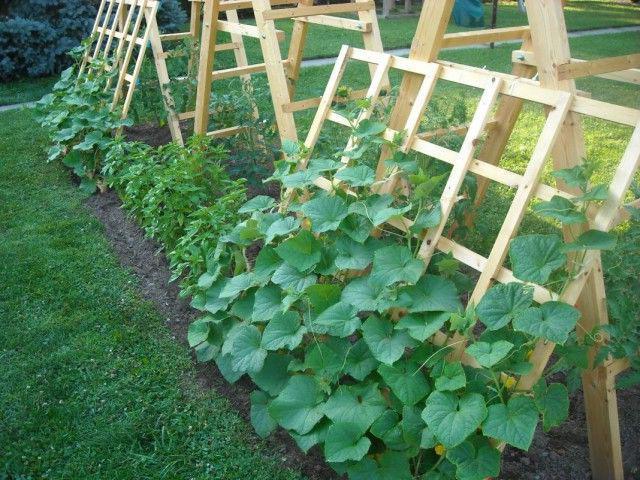 выращивание огурцов шатре или шалаше