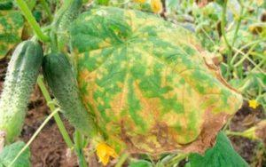 Причины ржавых пятен на листьях огурцов, чем обработать и как избавиться
