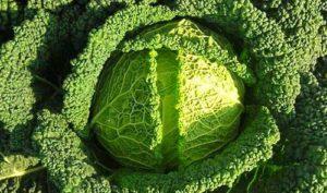 Правила посадки, выращивания и ухода за сортами савойской капусты