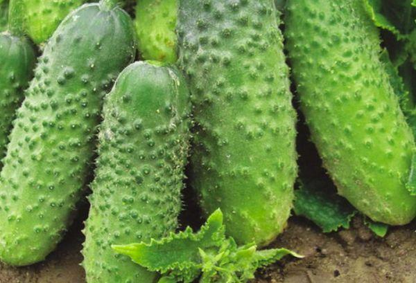 Спелые зеленцы