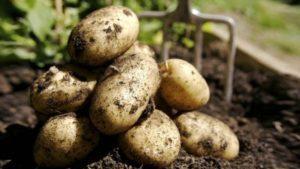 Описание лучших сортов картофеля на 2019 год, выбор для регионов