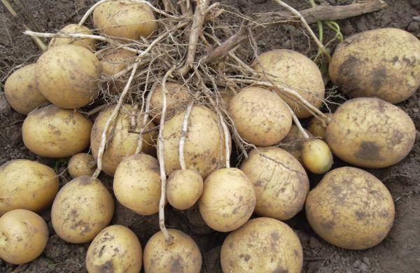 Картофель Алмера