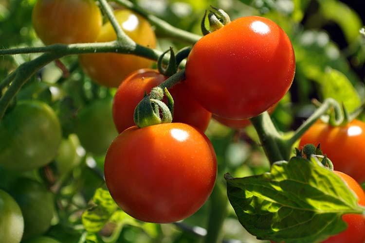 спелый томат