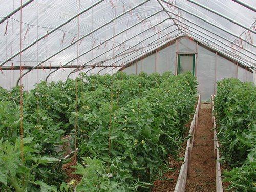 помидоры и томаты в одной теплице