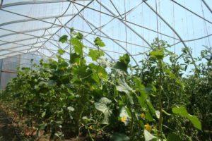 Как вырастить огурцы в теплице из поликарбоната, правила посадки и ухода