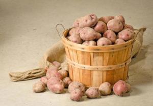 Описание сорта картофеля Снегирь, правила посадки и ухода