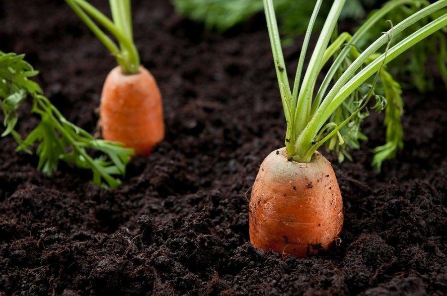 морковь спелая
