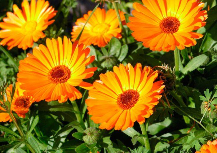 цветок Календула