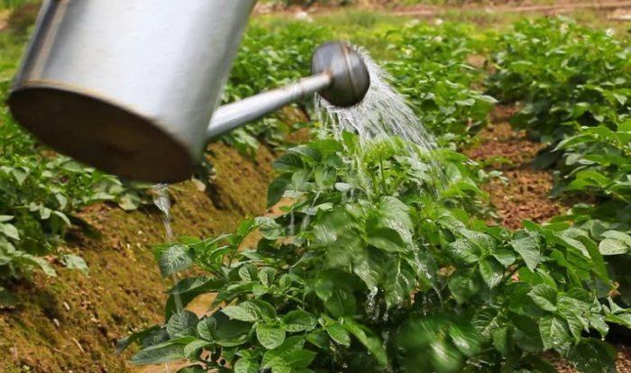 полив картошки