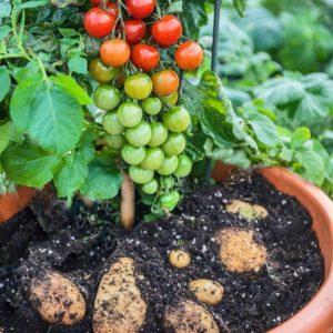 Описание и характеристики помидофеля, правила прививки и уход