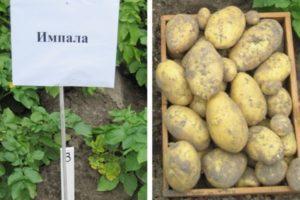 Описание и характеристики картофеля сорта Импала, посадка и уход