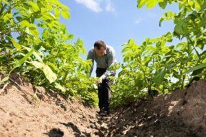 Виды удобрений для подкормки картофеля для цветения, лучшие народные средства и препараты
