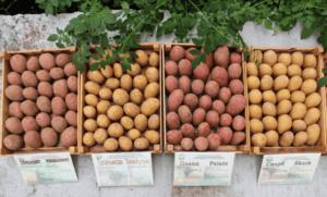 Описание и характеристики 15 лучших сортов картофеля для Белоруссии