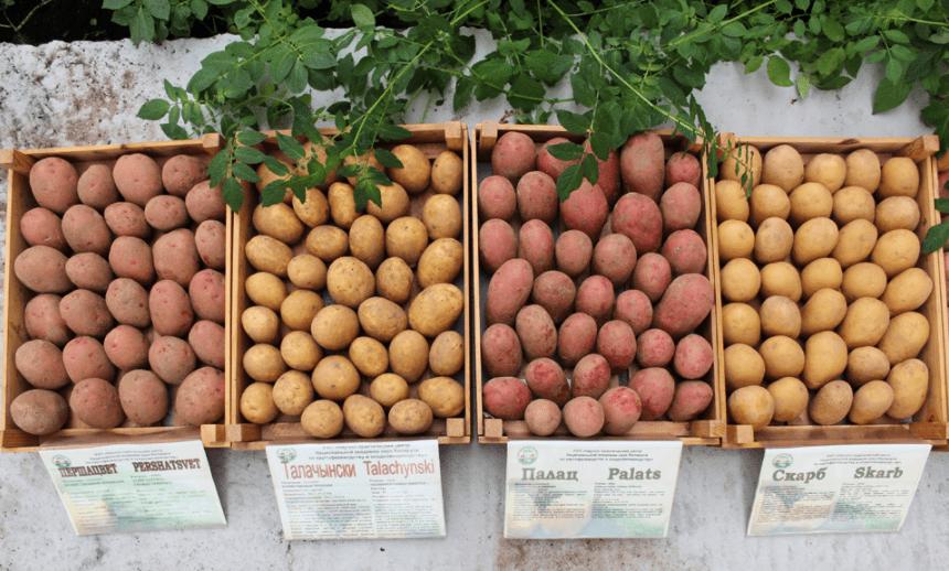 спелая картошка