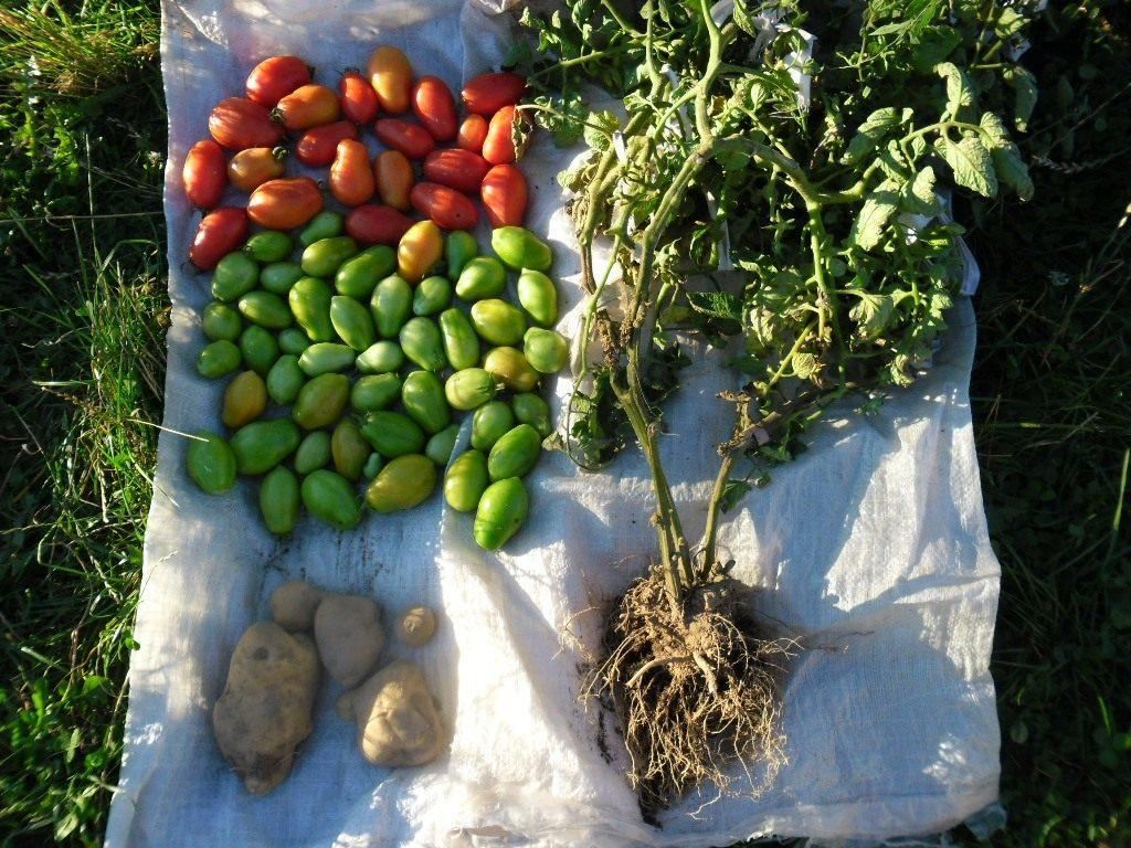 помидофель на огороде