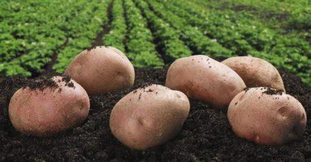картофель и поле