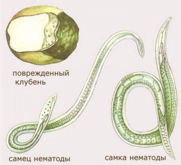 Нематода стеблевая