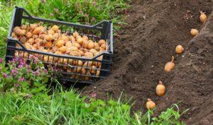 Особенности и правила выращивания картофеля по голландской технологии
