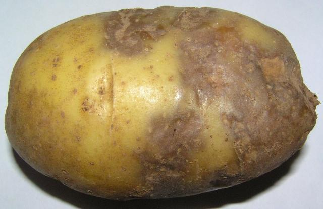 Антракноз картофеля