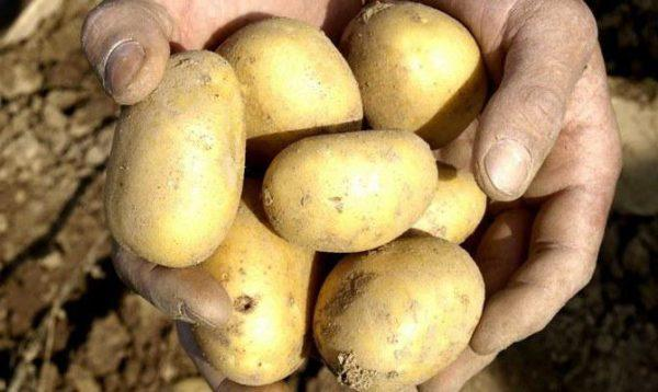 картофель Волат