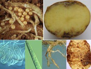Описание, признаки и лечение нематоды картофеля, как бороться с болезнью
