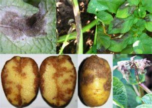Описание и лечение болезней картофеля, методы борьбы народными и химическими средствами