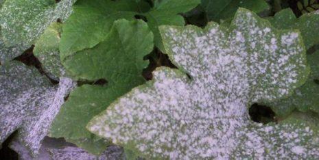 мучнистая роса на кабачках