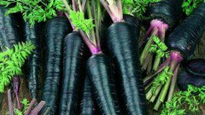 Описание сортов черной моркови и что это за культура, особенности выращивания