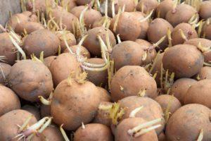Правила и методы быстрого проращивания картофеля перед посадкой