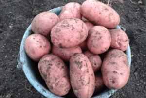 Описание и характеристики сорта картофеля Журавинка, посадка и уход
