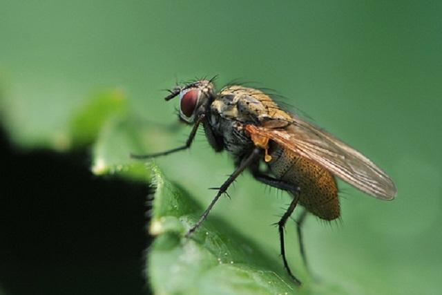 муха на капусте