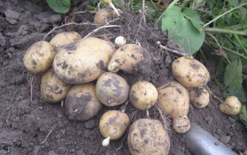 много картофель санте