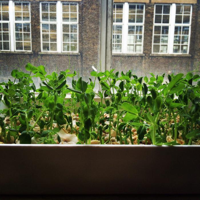 выращивание гороха на подоконнике