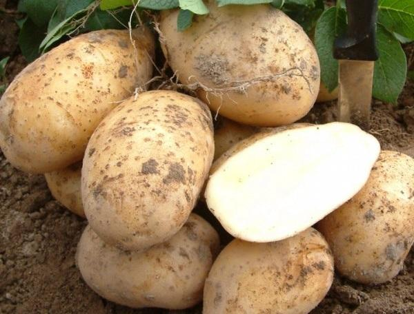 картофель Аксамит