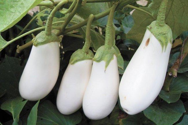 белый баклажан Аист
