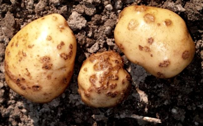Рак картошки